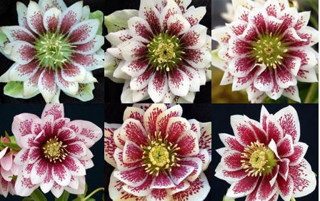 Helleborus x hybridus  Winter Jewells series 'Painted'
