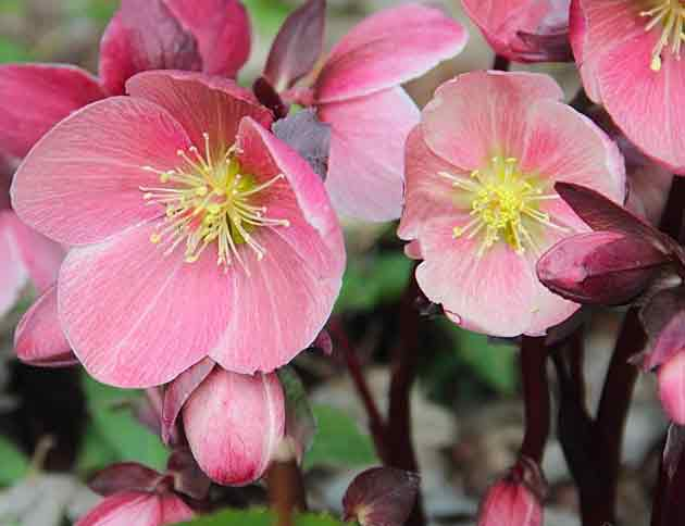 'HGC Pink Frost' hellebore