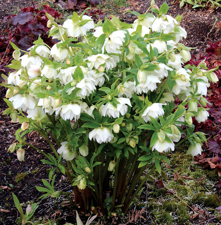 Helleborus x 'Sparkling Diamond' Winter Jewel Series