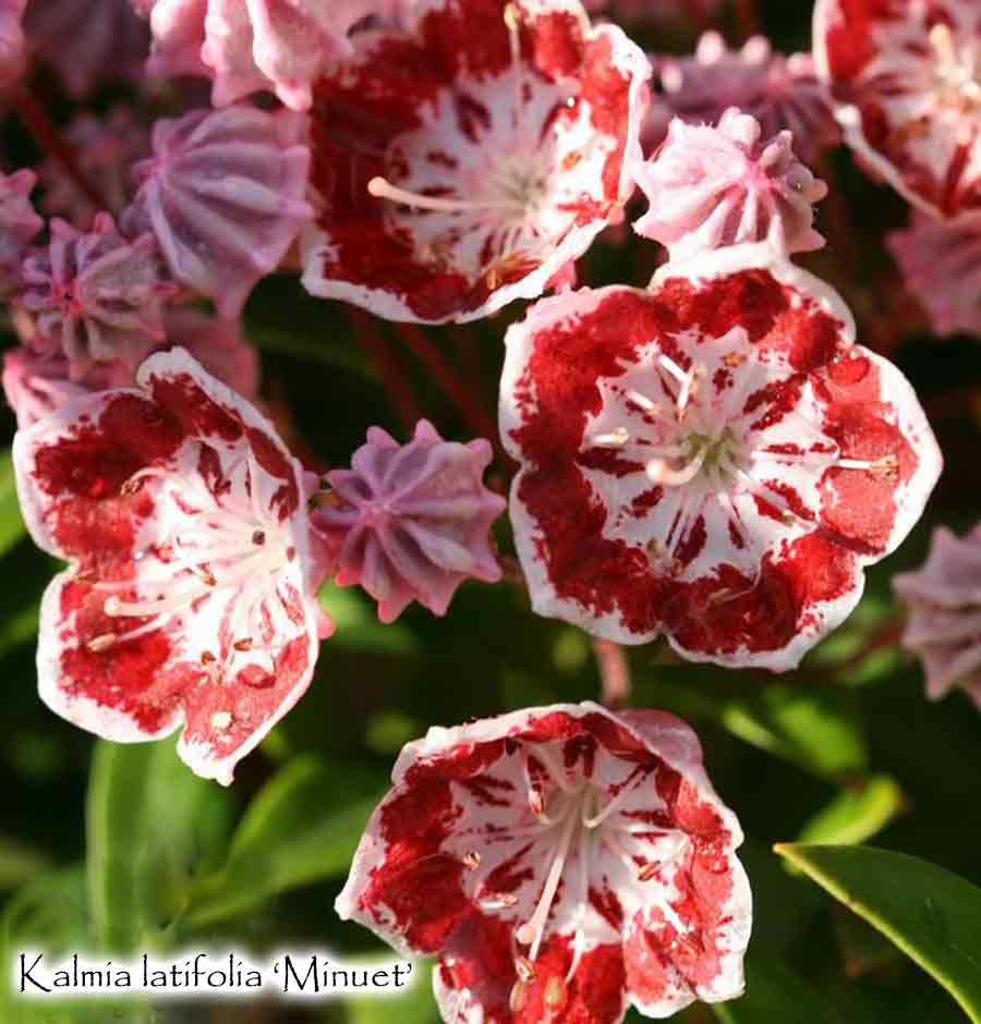 Kalmia latifolia 'Minuet'   Mountain Laurel