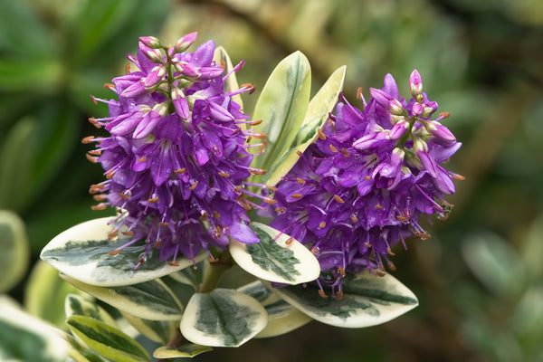 Patty's Purple Variegated Hebe
