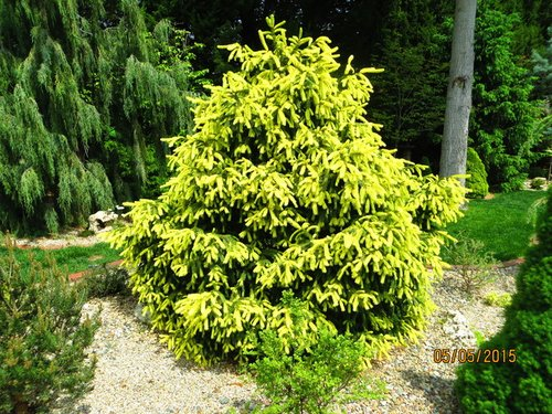 Picea abies 'Perry's Golden'