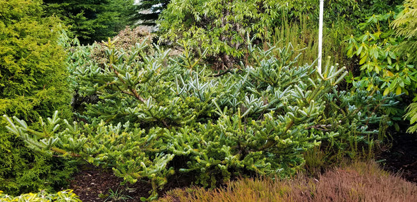 Picea jezoensis 'Howell's Dwarf '