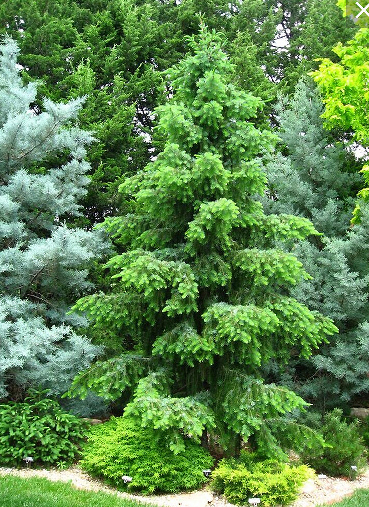 Picea omorika 'Sky Trails'