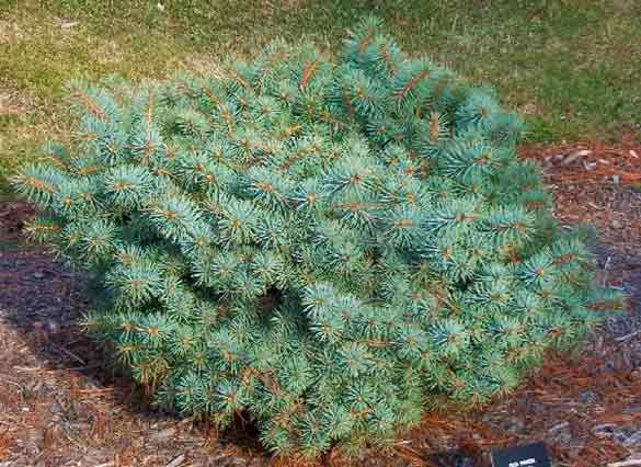 Picea pungens 'Christina'