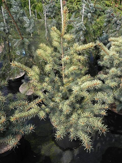 Sharp Cheddar Colorado Blue Spruce