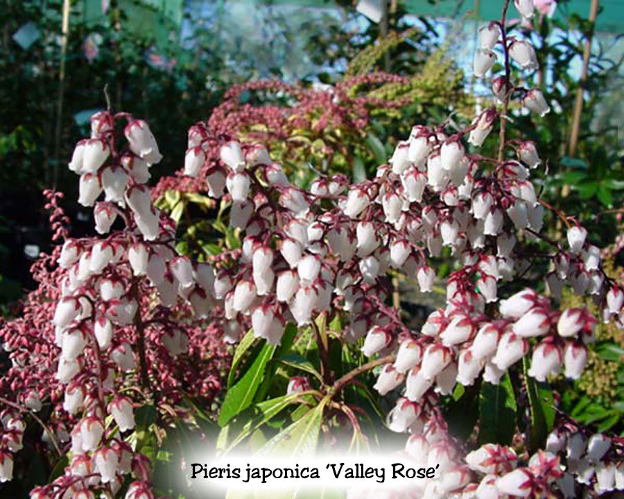 Pieris japonica 'Valley Rose'