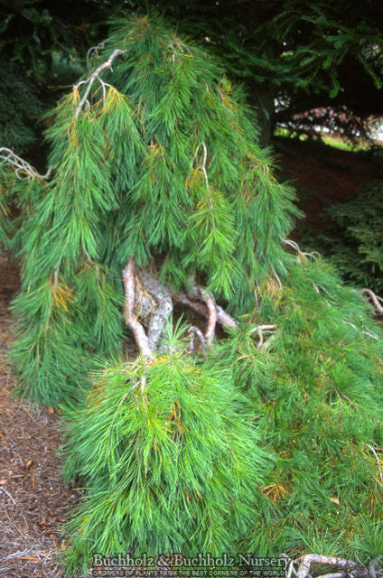 Weeping Japanese Red Pine