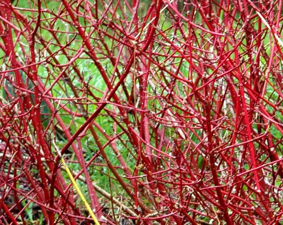 Red Twig Dogwood 'Cardinal'
