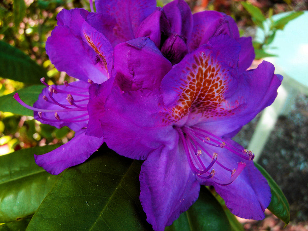 Royal Purple Rhododendron