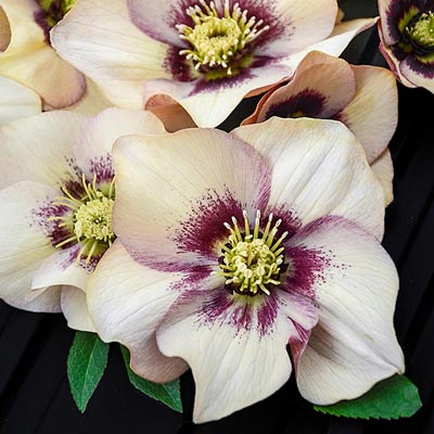 Helleborus 'Honeymoon Sandy Shores'