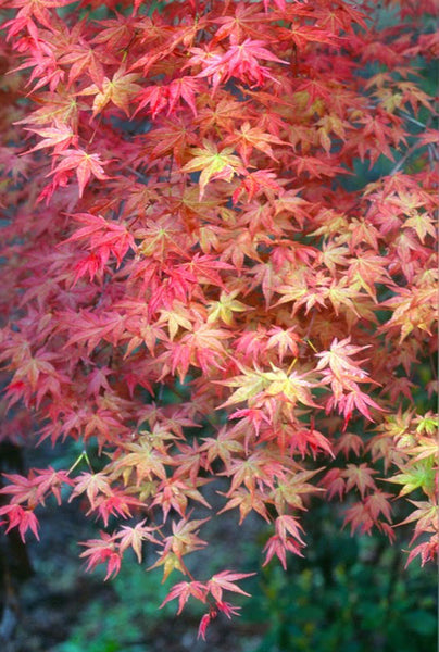 Acer palmatum Shishio Improved