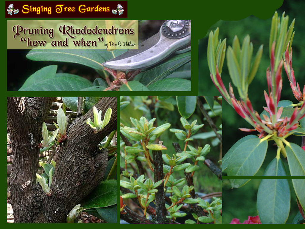 RHODODENDRON PRUNING CD