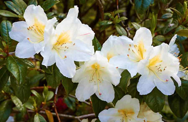 Rhododendron parryae