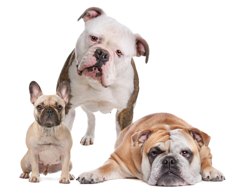 A Brief History of the French Bulldog