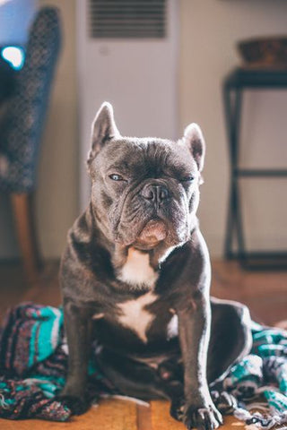 5 signs your french bulldog is bored at home