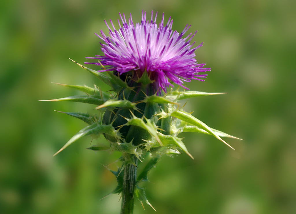 Thistle vegetable