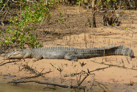 Northern Kimberley photographs of Kimberley Crocodiles 2