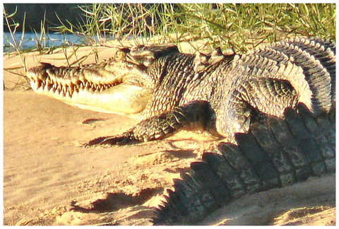 Northern Kimberley photographs of Kimberley Crocodiles 6