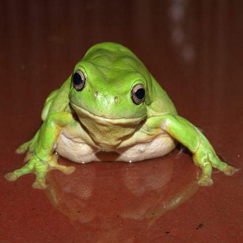 Pot Holder. Kimberley Green Frog