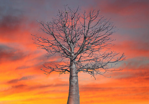 Free Standing large Photo Board. Kimberley  Boab Tree Sunset