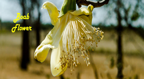 The Boab Tree Flower