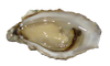 OYSTER 1/2 SHELL 12pc/Tray