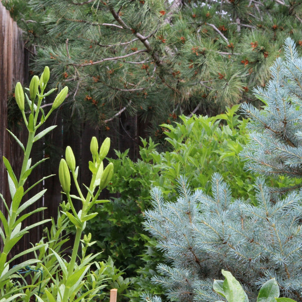 lilies ready to pop against dwarf blue spruce and viburnum