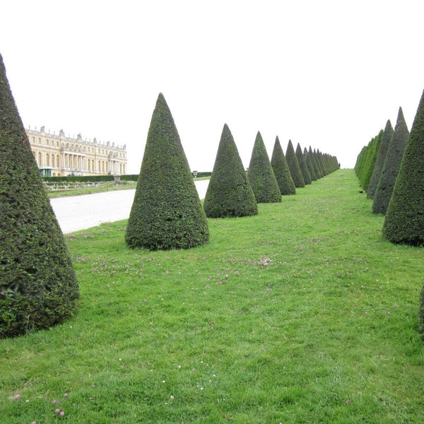 long view of formal yew row