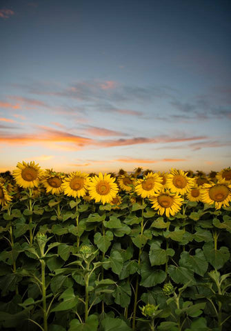 SUNFLOWER FIELD II