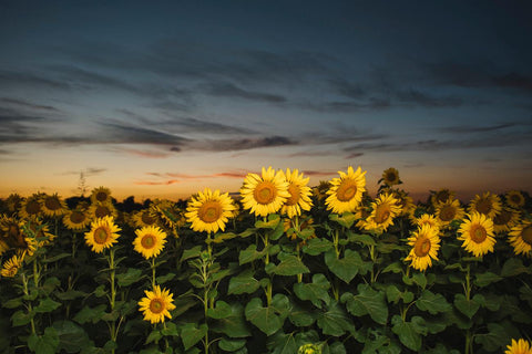 SUNFLOWER FIELD III