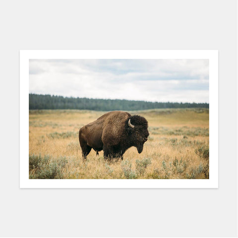 BISON IN YELLOWSTONE NAT'L PARK