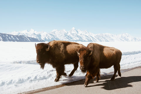 BISON IN GRAND TETON NAT'L PARK
