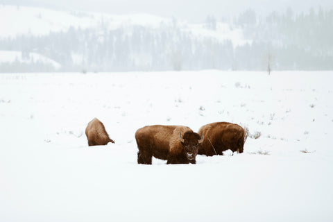 BISON IN GRAND TETON NAT'L PARK II