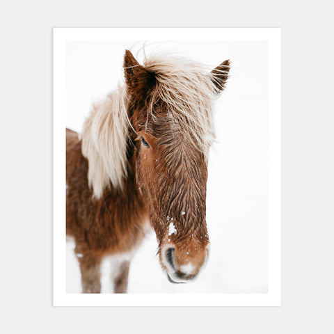 ICELANDIC HORSE IN SNOW