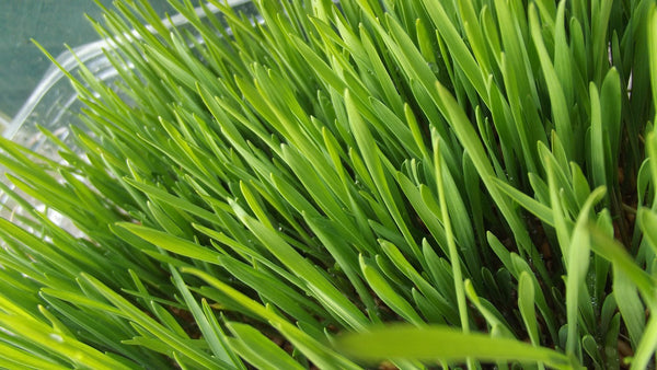 Organic wheat grass benefits