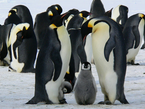 several penguins with a small penguin