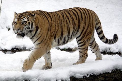 Amur Tiger or Siberian Tiger, Largest Tigers