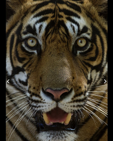 Indian Tiger or Bengal Tiger