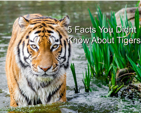 Five Facts you didnt know about Tigers