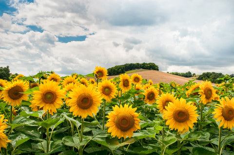 Sunflowers in a field.