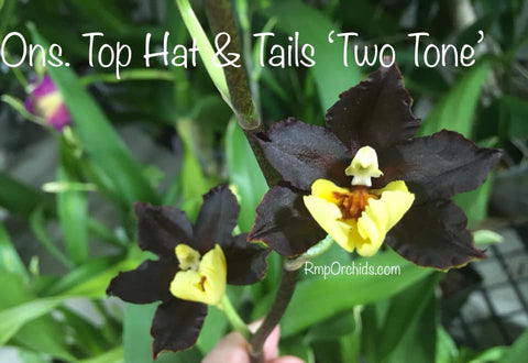 Ons. Top Hat & Tails 'Two Tone'