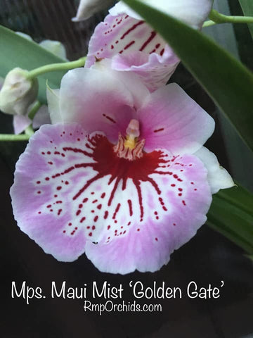 Mps. Maui Mist 'Golden Gate'