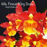 Wils. Firecat 'King Snake'