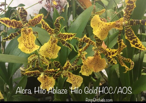 Alcra. Hilo Ablaze 'Hilo Gold' HCC/AOS - Post Bloom Clearance