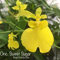 Onc. Sweet Sugar 'lemon Drop'