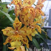 Growers Choice NON BLOOM ONCIDIUM/INERGENRIC ORCHID