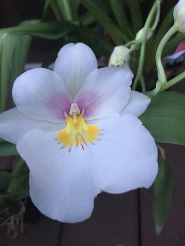 Growers Choice NON BLOOM MILTONIOPSIS  ORCHID