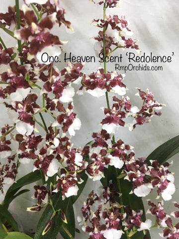 Onc. Heaven Scent 'Redolence' (Post Bloom Clearance)