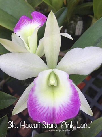Growers Choice Compact Cattleya in Spike/Bud